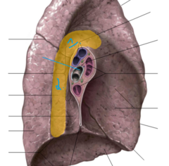 #1- aortic arch impression on left lung #2- thoracic aorta impression on left lung