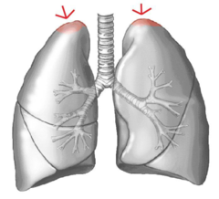 apex of the lungs