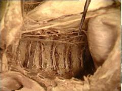 greater splanchic nerve