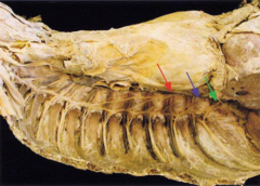 greater splanchnic nerve - formed by contributions from T5-T9 sympathetic ganglia, is the largest and most medial of these three lesser splanchnic nerve - arises from T10-T11 sympathetic ganglia, is moderate in size and intermediate in position least splanchnic nerve - arises from the T12 sympathetic ganglion, is the smallest and most lateral of these three
