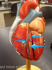 posterior descending artery (posterior interventricular artery), middle cardiac vein