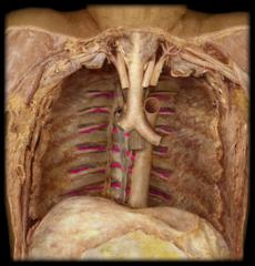 posterior intercostal arteries