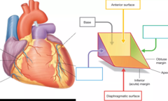 right pulmonary surface of the heart = purple left pulmonary surface of the heart = green