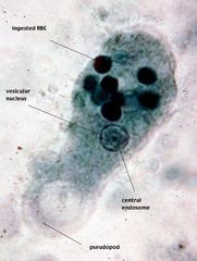 Entamoeba histolytica troph