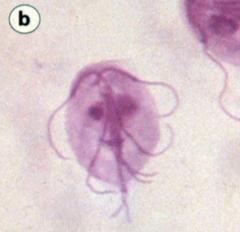 giardia lamblia (trophs)