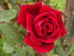 The Beautiful Rose
